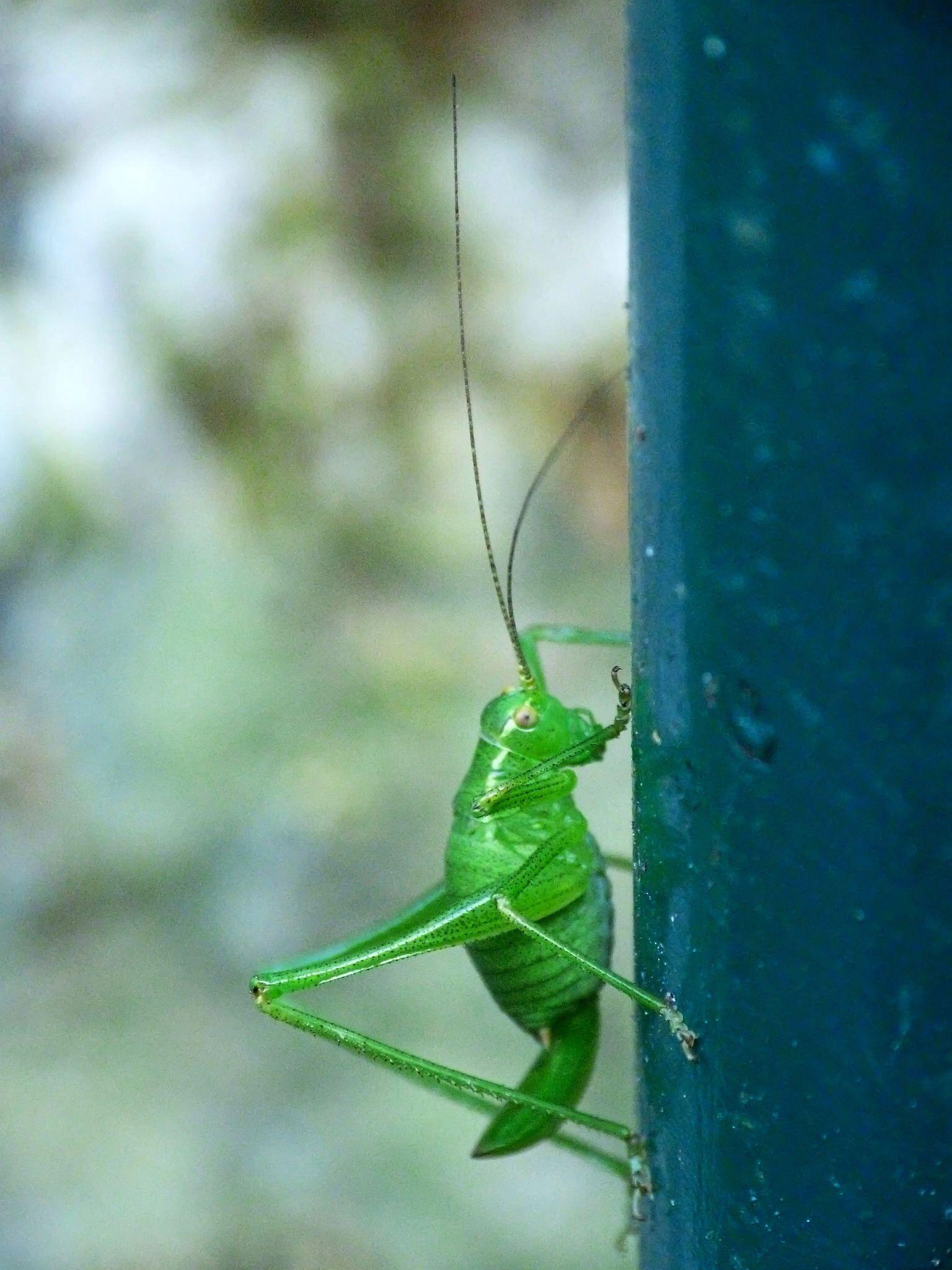 Grashüpfer - Grasshopper