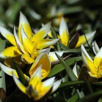 Tulip Tarda,Tulipa Dasystemon,Tulip Dasystemon Tarda, Botanical Tulip, Tulip Species, Mid spring tulip, Early spring tulip, bicolored tulip,Specie Tulips, Rock Garden Tulips, Wild Tulips