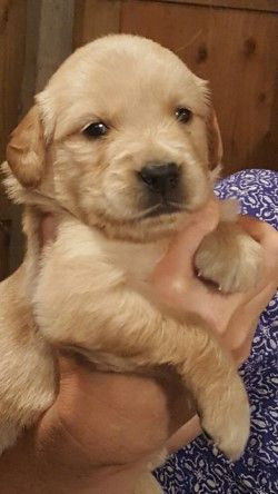 Litter Of 8 Golden Retriever Puppies For Sale In Olympia Wa Adn