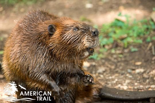 Beaver on American Trail at the Smithsonian's National Zoo