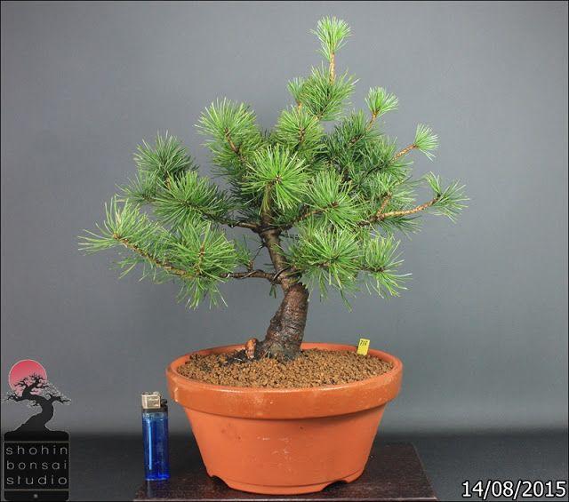 Pino blanco japonés .. Pinus Parviflora Var. Negishi