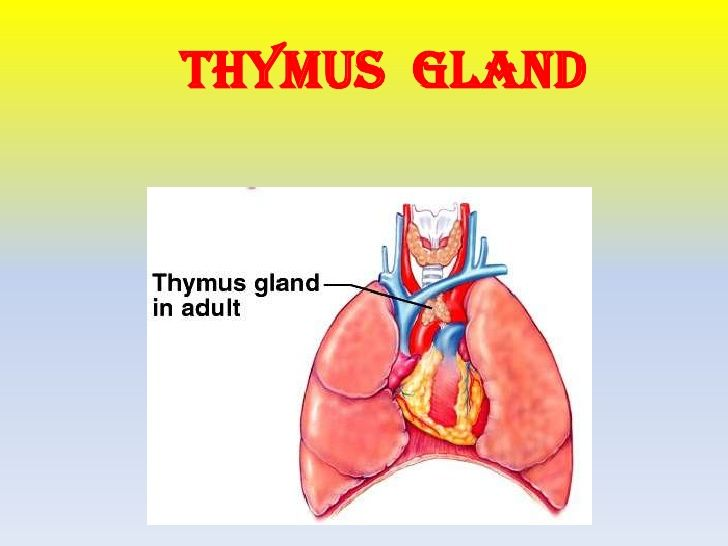 The thymus is involved in involution (like the pineal gland) meaning ...
