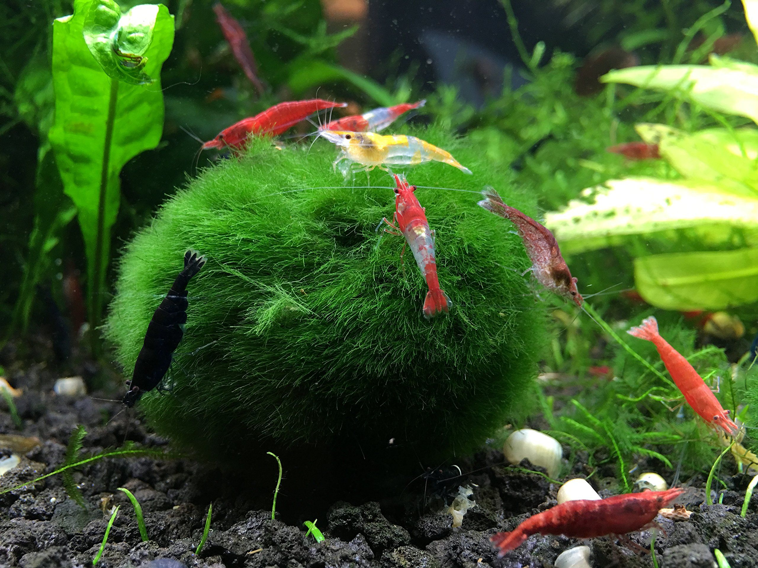 3 Giant Marimo Moss Balls 1 Free Very High Quality 2 To 2 5