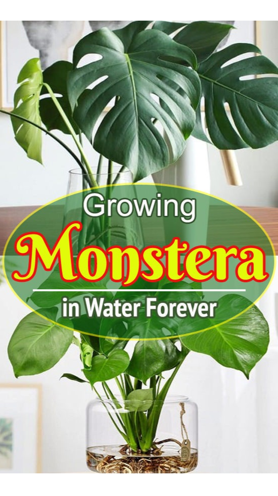 How to Grow Lush Monstera Plant in Water