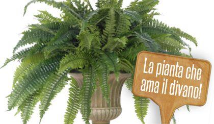 Felce da appartamento pianta cascante ama l 39 ombra e - La felce pianta ...