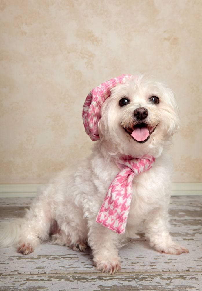 Happy Dress Up Your Pet Day Pottery Barn Maltese Dogs Maltese Puppy Dapper Dogs