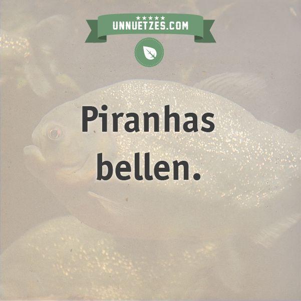 Und so hört sich das an: http://www.unnuetzes.com/wissen/10856/piranhas-bellen/