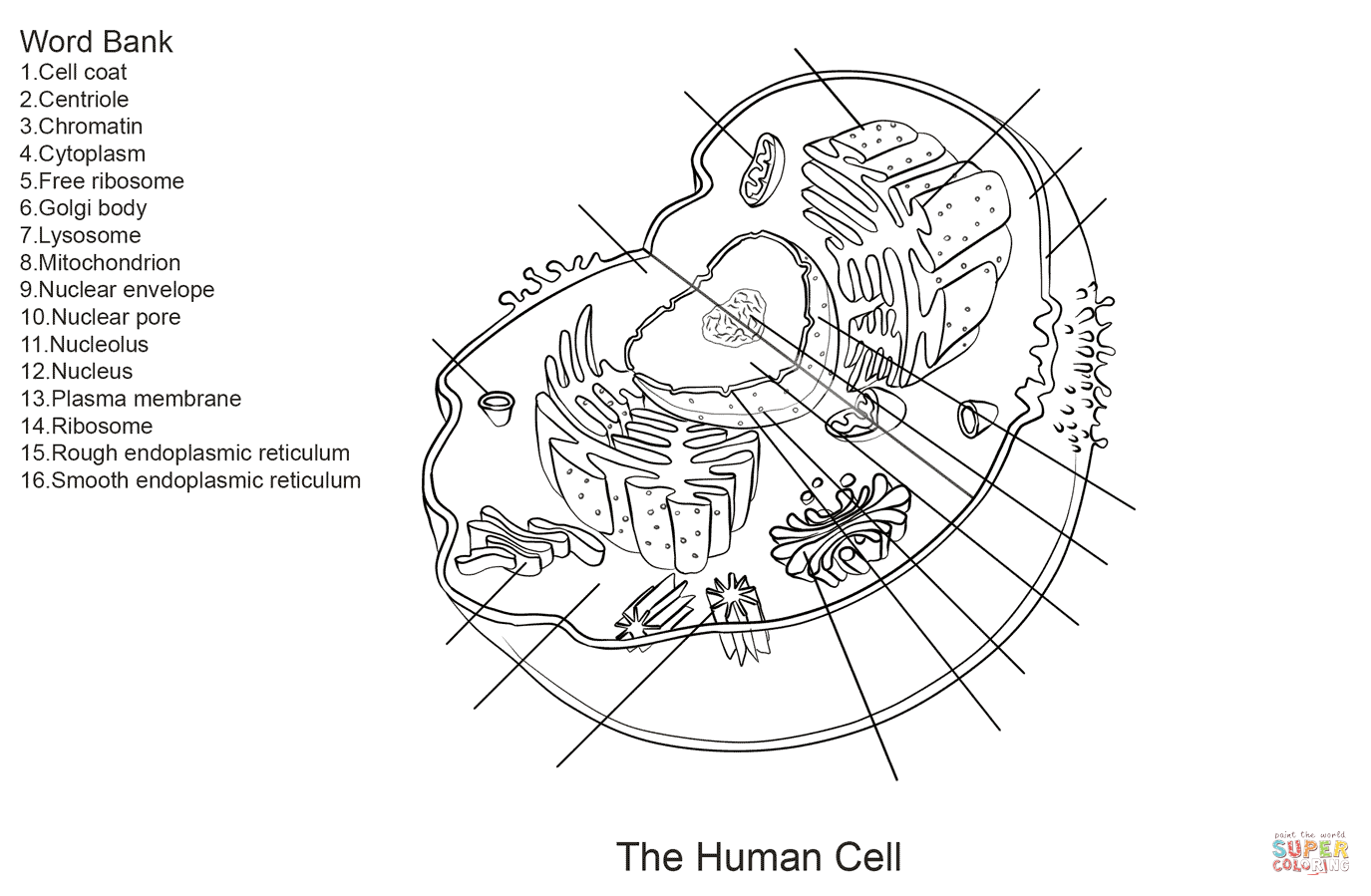 Human Cell Worksheet