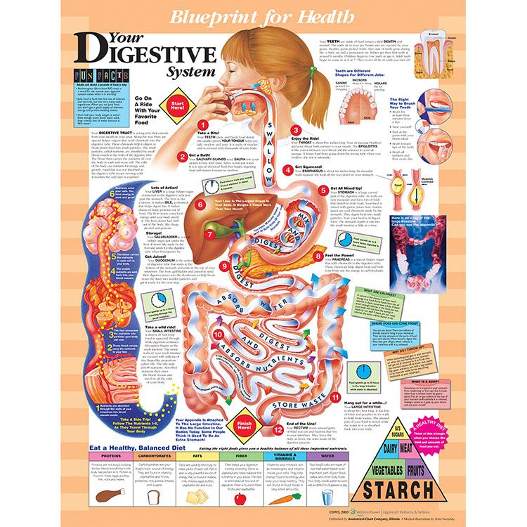 Anatomical chart company blueprint for health your digestive anatomical chart company blueprint for health your digestive system chart malvernweather Images