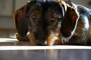 Willow Springs Miniature Wirehaired Dachshunds Gallery Wire