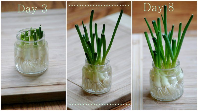 Dream State Grow Green Onions In Water Green Onions Growing Regrow Green Onions Organic Plants