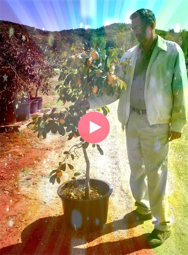 fruit trees in containers part 1 Part 2 is linked at the bottom of the articleGrowing fruit trees in containers part 1 Part 2 is linked at the bottom of the article Feige...
