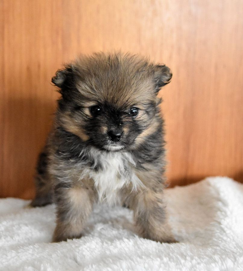 Pin by jackie dorsey on doggy lover in 2020 pomeranian