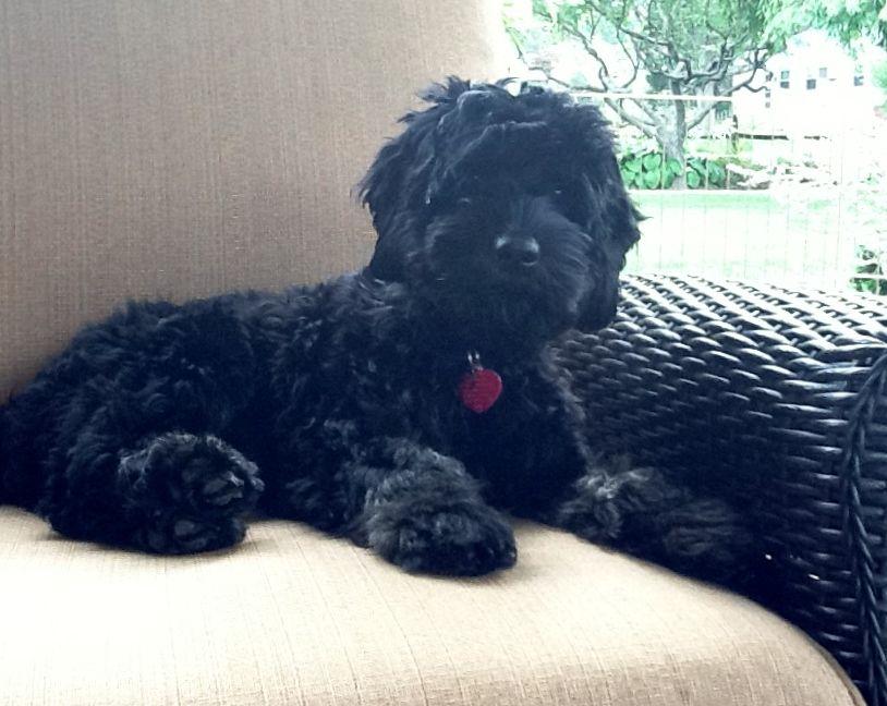 Black Cockapoo - Google Search  Pets  Pinterest  Black -1427