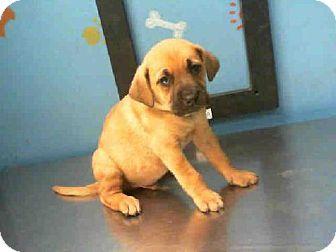 Houston Tx Labrador Retriever German Shepherd Dog Mix Meet Twix A Puppy For Adoption Barc Kitten Adoption Puppy Adoption Labrador Retriever