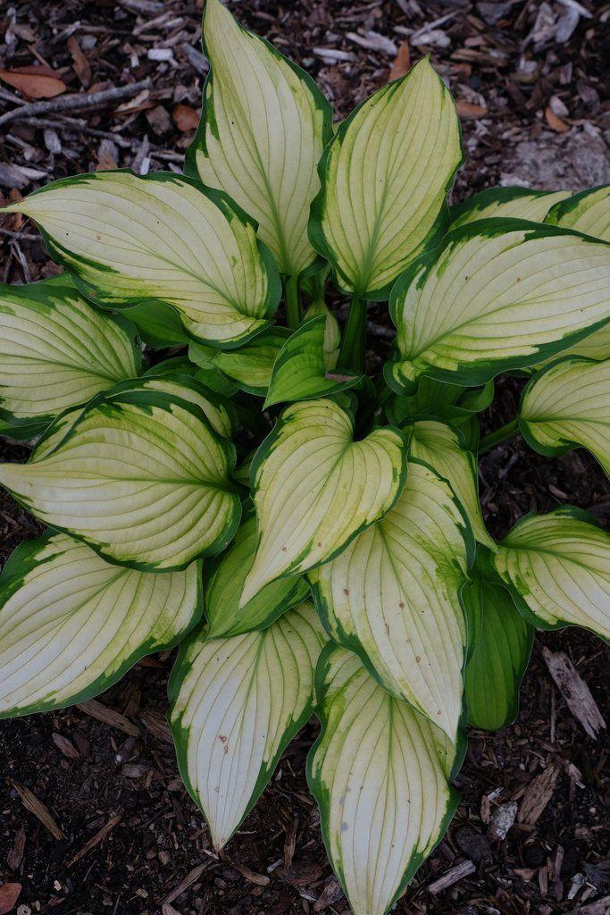 Hosta Prairie S Edge Ppaf Dry Shade Plants Hosta Gardens