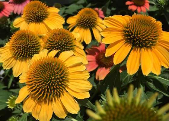 7 Hardy Perennials To Plant And Enjoy Now Hardy Perennials