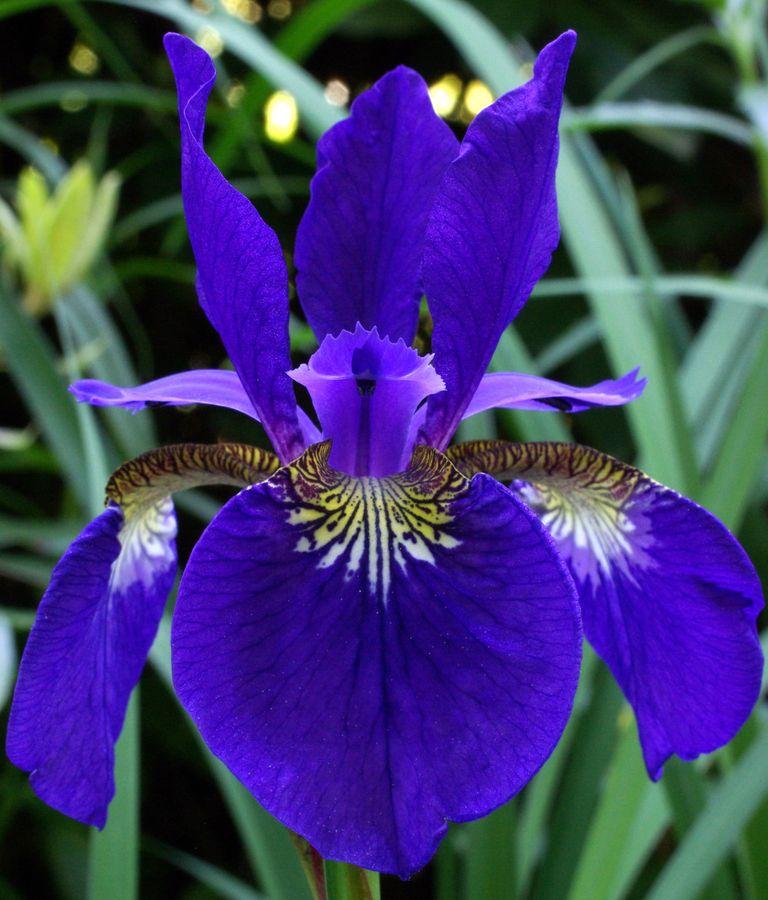 Deep Blue Iris 3 Iris Flowers Showy Flowers Pretty Flowers