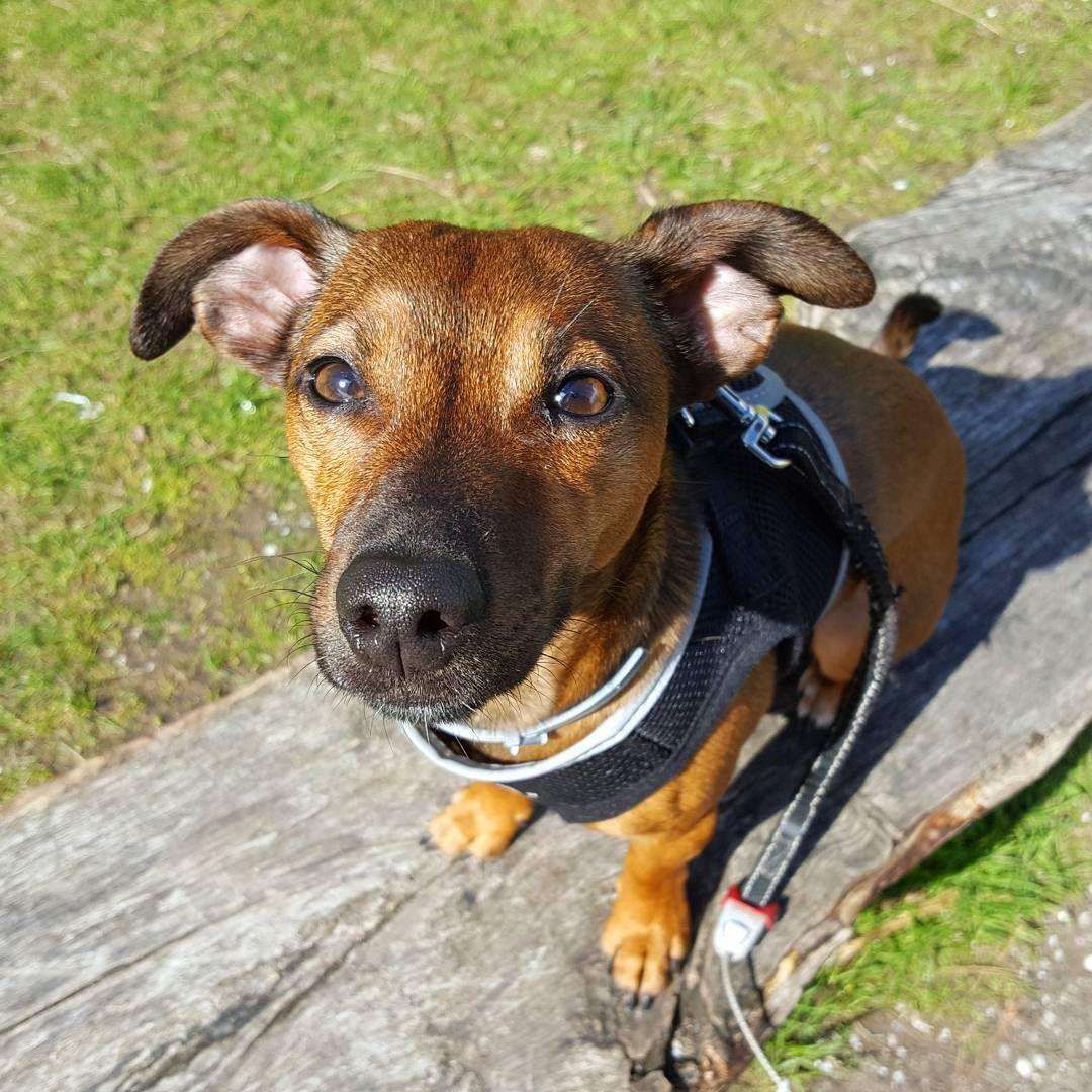 95 vind-ik-leuks, 8 reacties - Bruno (@jackrussell_bruno) op Instagram: '😍pretty 😍 . . . #happydog #happydog_feature #dogsofig #doglover #instapets #jackrussellmoments…'