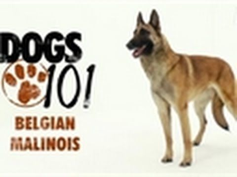 dogs 101 Belgian Malinois. They're not for everyone but