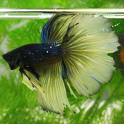 BLACK FANCY CARAMEL ROSE TAIL BEAUTIFUL HALFMOON HM MALE BETTA LIVE FISH  RARE