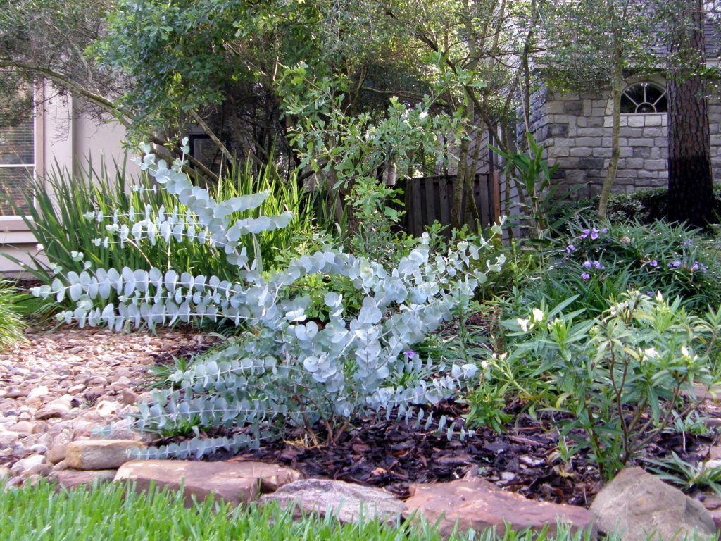 eucalyptus plant eucalyptus bush 21