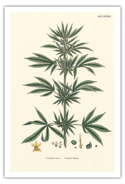 Botanical Illustration Cannabis Pesquisa Google Cannabis