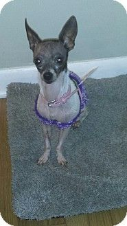 Indianapolis In Chihuahua Meet Tinkerbell A Dog For Adoption