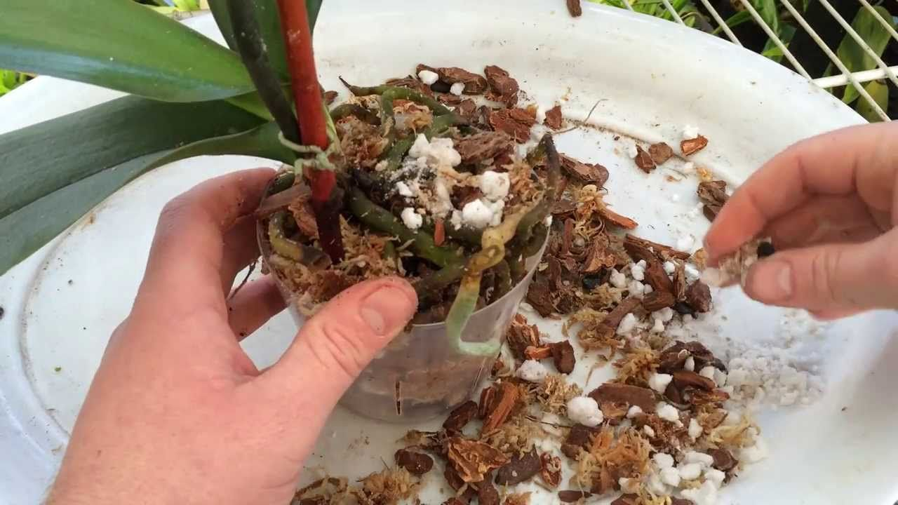 Easy orchid care repotting a phalaenopsis with rotten roots steps