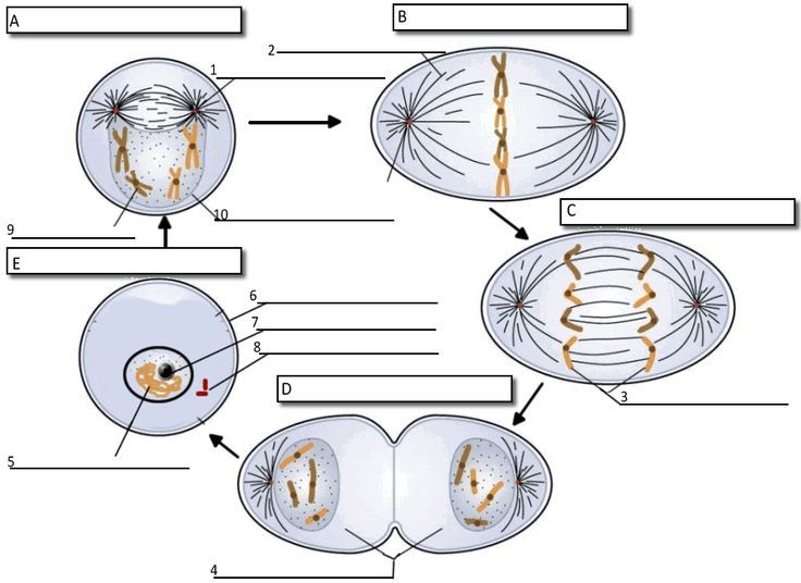 Activity  Label Each Phase Of Mitosis And The Important