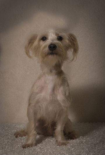 Check out Milan's profile on AllPaws.com and help him get adopted! Milan is an adorable Dog that needs a new home. https://www.allpaws.com/adopt-a-dog/yorkshire-terrier-yorkie-mix-toy-terrier/3988986?social_ref=pinterest