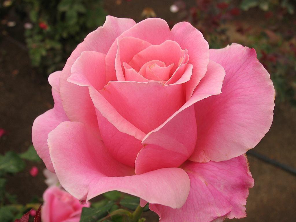 скачать Rosa торрент - фото 4