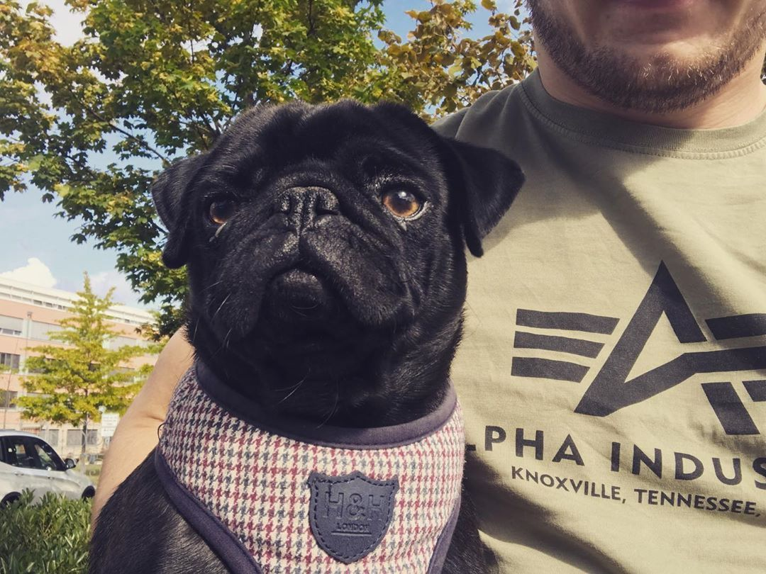 Best Online Business Management Programs French Bulldog Pugs Dogs