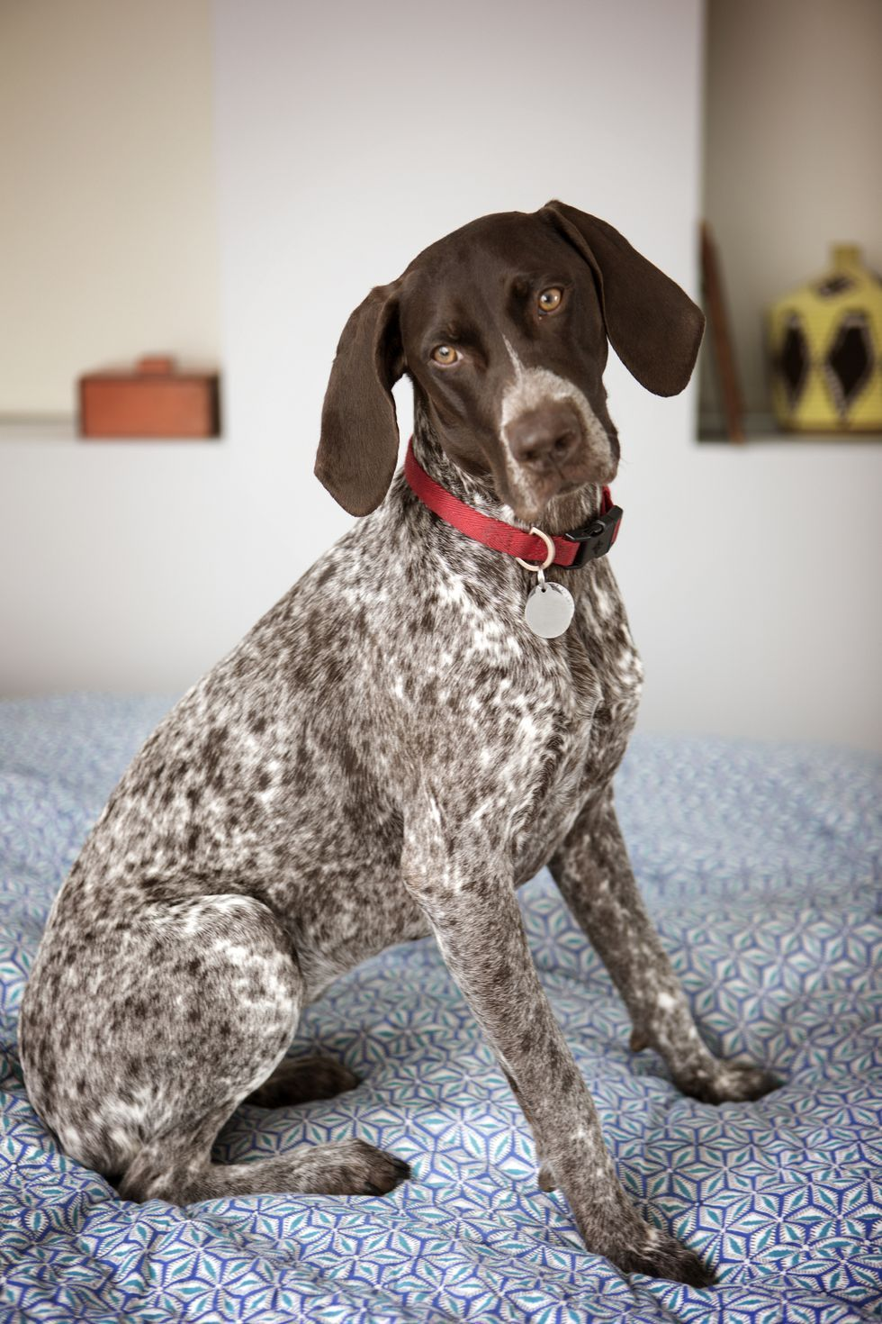 Looking For A Dog That S Not Too Big Or Too Small These Medium Sized Pups Are Perfect In 2020 Large Dog Breeds German Shorthaired Pointer Dog Dog Breeds