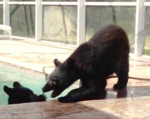 Bear in the pool!