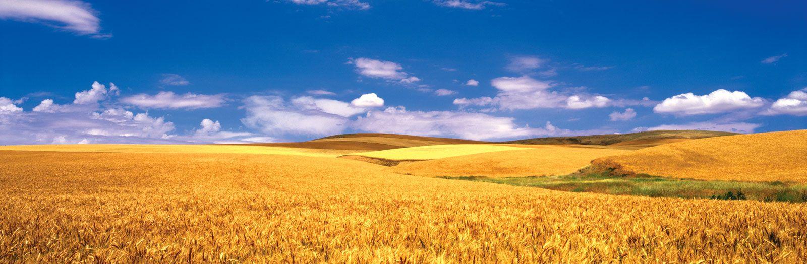 iljb#90: Wheat Fields