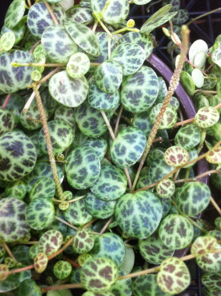 Peperomia rotundifolia for Kajuard plantes