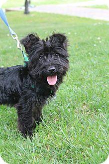 Bedminster Nj Scottie Scottish Terrier Maltese Mix Meet Kenzie A Puppy For Adoption Scottish Terrier Puppy Adoption Terrier