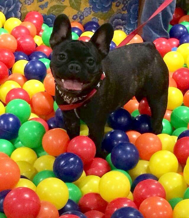 Most Inspiring Bulldog Ball Adorable Dog - 943e63407ddf91be34a50af5545c49cb  Gallery_98781  .jpg