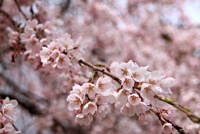 旧高甫農村図書館の桜 4/7(5分咲き)