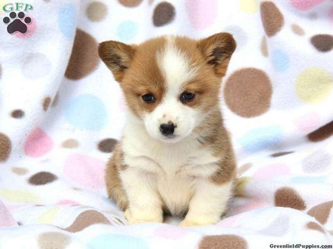 Corgi Puppies For Sale In Ma Zoe Fans Blog Corgi Puppies For Sale Cute Baby Animals Corgi Puppy