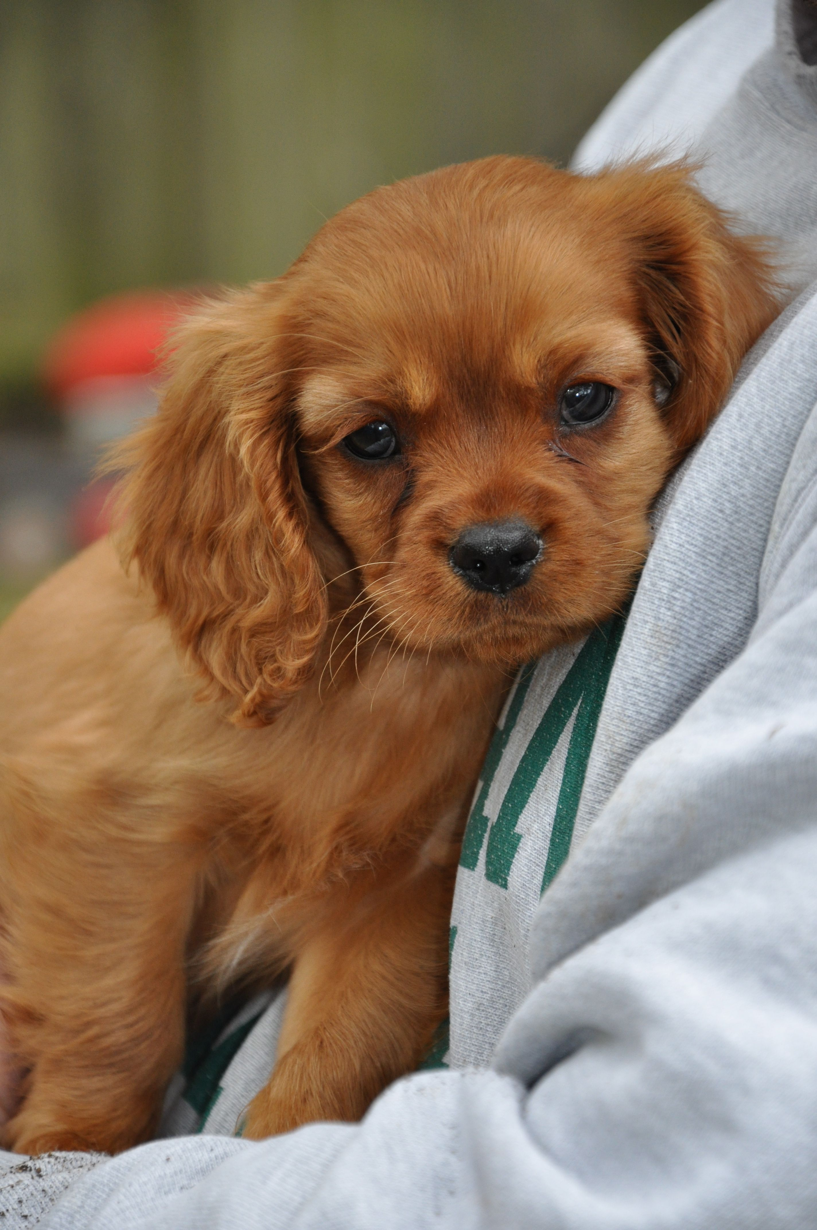 Ruby Cavalier King Charles Spaniel Puppies Click Image To