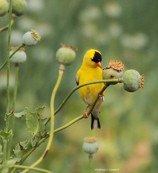 Enjoying The Poppies by Andrea Cowart on Capture Memphis // Male Goldfinch enjoying poppy seeds. Hope he doesn't have to have a Drug Screen done anytime soon