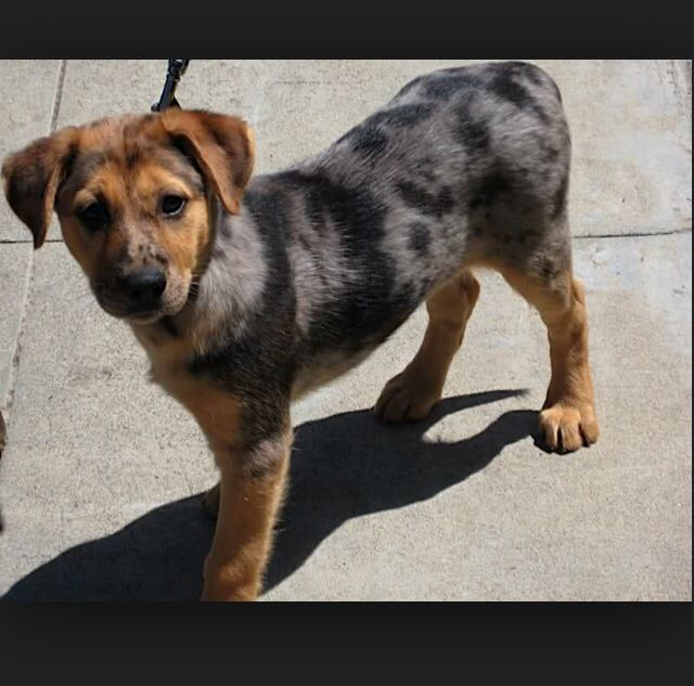 Catahoula German Shepherd Mix What Our New Puppy Is Same Colors
