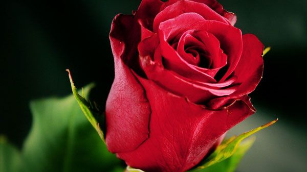 17 Beautiful Red Rose Wallpapers Flowers Beautiful Red Roses