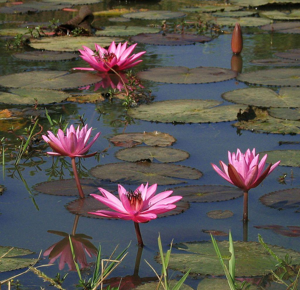 Lotus pond nature pinterest pond lotus pond izmirmasajfo Gallery