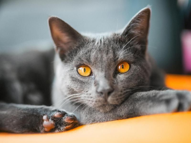 Beautiful Bengal Bengal Kitten Bengal Cat Unique Cats