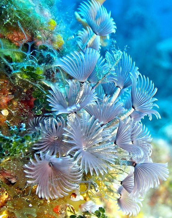 Social Feather Dusters On Coral Reef By Amy Mcdaniel Ocean Plants Ocean Creatures Coral Reef Photography