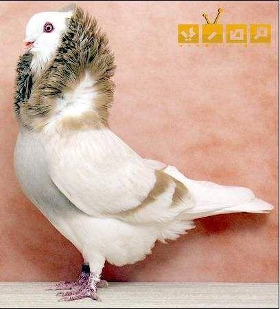 صور حمام نادرة باشكال جميلة وألوان مبهجة للروح موقع مصري Pigeon Pictures Pet Birds Beautiful Birds