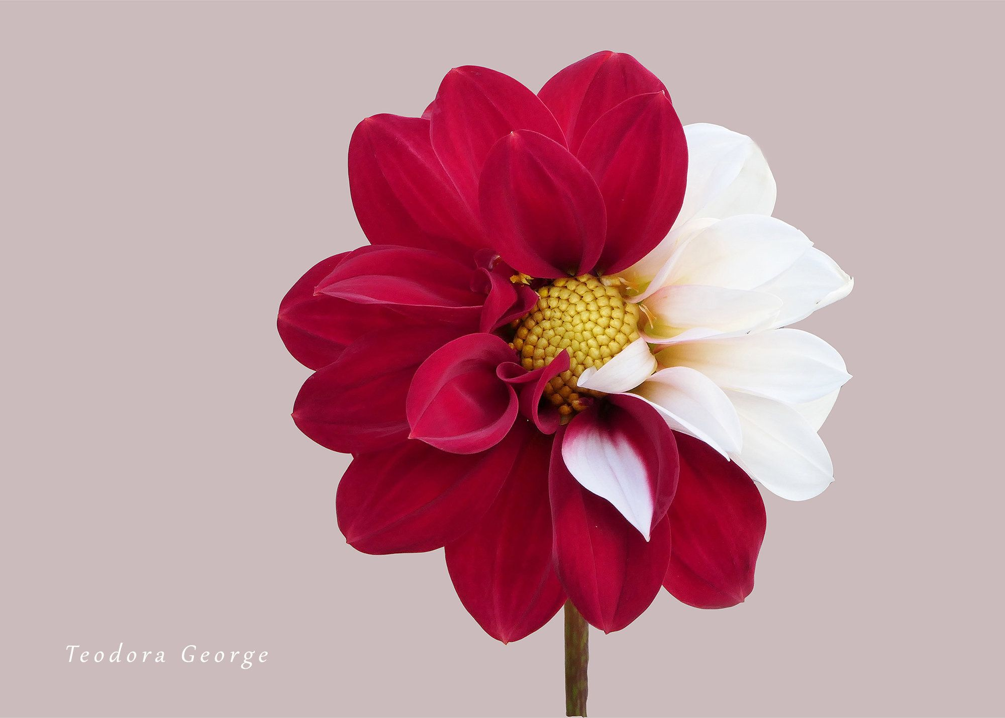 Digital Download Of A Red And White Dahlia Flower Photo Etsy In 2020 Dahlia Flower Flower Photos Flowers Photography